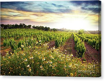 Vineyard Canvas Print by Carlos Caetano