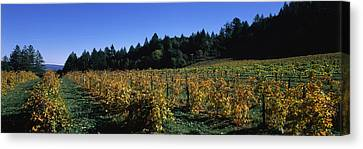 Vineyard In Fall, Sonoma County Canvas Print by Panoramic Images