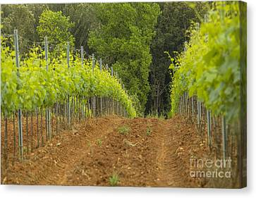 Vineyard In Tuscany Canvas Print by Patricia Hofmeester