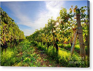 Vineyard In Tuscany, Ripe Grapes Canvas Print by Michal Bednarek