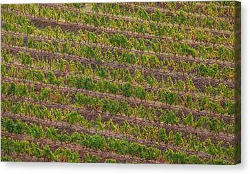 Vineyard Of Portugal Canvas Print by David Letts