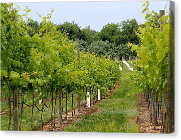 Vineyard Path Canvas Print by Brian Manfra