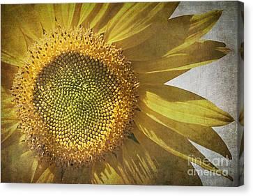 Vintage Sunflower Canvas Print by Jane Rix