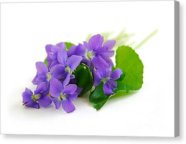 Violets On White Background Canvas Print by Elena Elisseeva