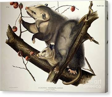 Virginian Opossum Canvas Print by John James Audubon
