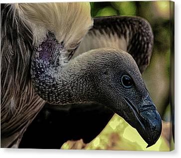 Vulture Canvas Print by Martin Newman