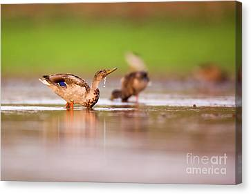 Wading Birds In A Foraging Canvas Print by Alon Meir