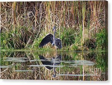 Wading In Heron Canvas Print by Cathy  Beharriell