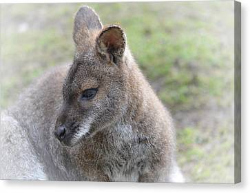 Wallaby Canvas Print by Sharon Lisa Clarke