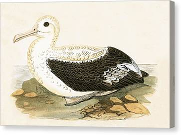 Wandering Albatross Canvas Print by English School
