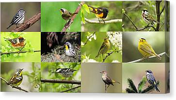 Warblers In Spring Canvas Print by Mircea Costina Photography