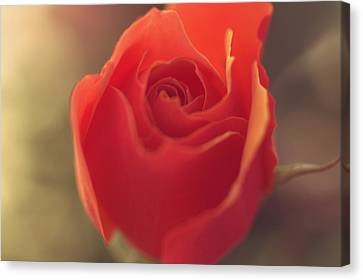 Warming Rose Canvas Print by  The Art Of Marilyn Ridoutt-Greene