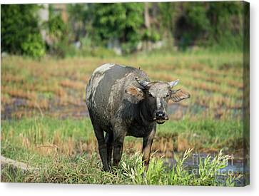 Water Buffalo Canvas Print by Juli Scalzi