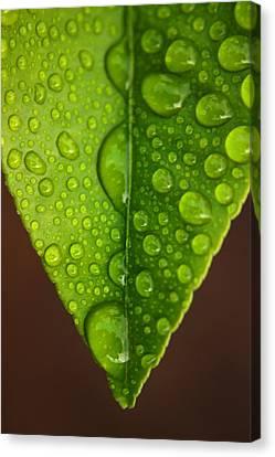 Water Droplets On Lemon Leaf Canvas Print by Ralph A  Ledergerber-Photography