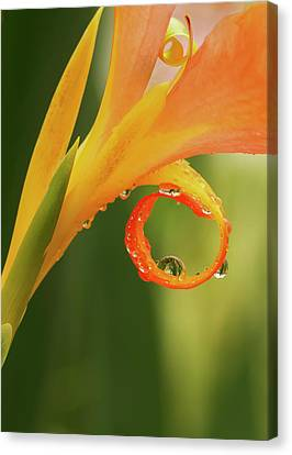 Water Drops On Canna Curl Canvas Print by Jean Noren