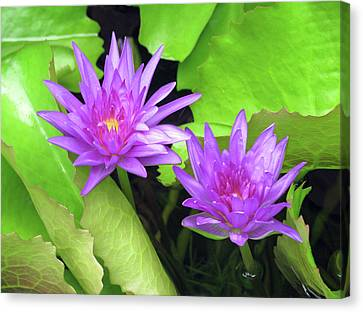 Water Lily 04 - Purple - Kauai, Hawaii Canvas Print by Pamela Critchlow