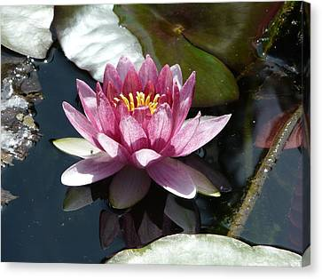 Water Lily 2 Canvas Print by Valerie Ornstein