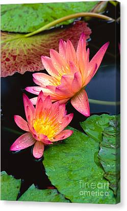 Water Lily Canvas Print by Bill Brennan - Printscapes