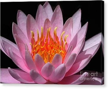 Water Lily On Fire Canvas Print by Sabrina L Ryan