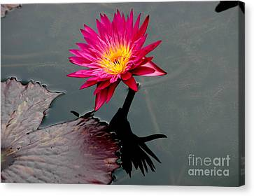 Water Lily Reflection Canvas Print by Mark Gilman