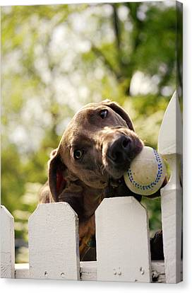 Weimaraner Holding Baseball In Mouth Canvas Print by Gillham Studios