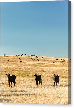 Western Herd Of Cattle Canvas Print by Todd Klassy