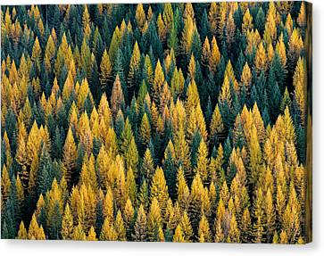 Western Larch Forest Canvas Print by Leland D Howard