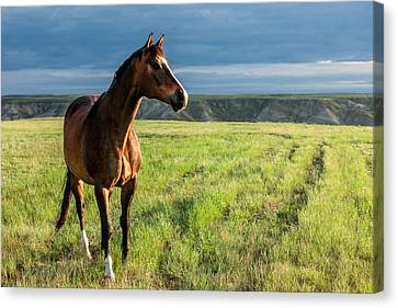 Western Stallion Canvas Print by Todd Klassy