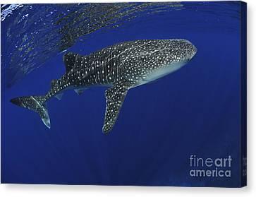 Whale Shark Near Surface With Sun Rays Canvas Print by Mathieu Meur