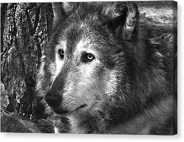 What Is A Wolf Thinking Canvas Print by Karol Livote