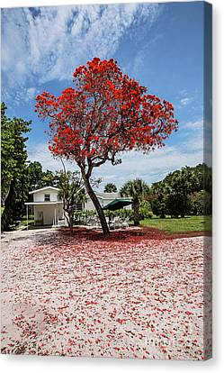 Where The Red Tree Grows Canvas Print by Scott Pellegrin