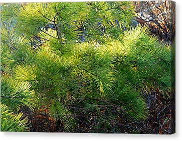 Whispering Pines Canvas Print by Larry Ricker