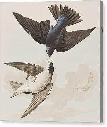 White-bellied Swallow Canvas Print by John James Audubon