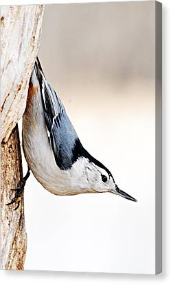 White-breasted Nuthatch Canvas Print by Larry Ricker