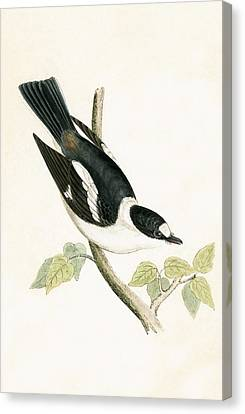 White Collared Flycatcher Canvas Print by English School