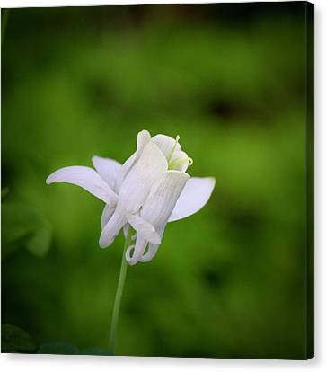 White Columbine Squared Canvas Print by Teresa Mucha