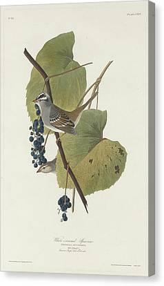 White-crowned Sparrow Canvas Print by John James Audubon