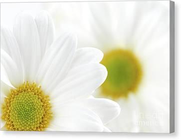 White Daisies Canvas Print by Elena Elisseeva