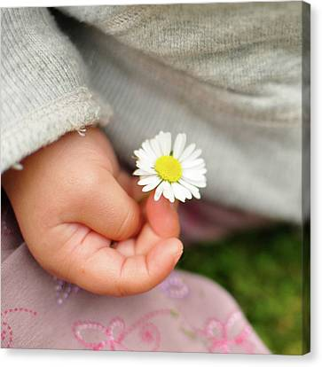White Daisy In Baby Hand Canvas Print by © Mameko