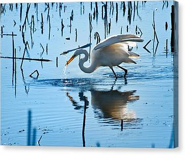 White Egret At Horicon Marsh Wisconsin Canvas Print by Steve Gadomski