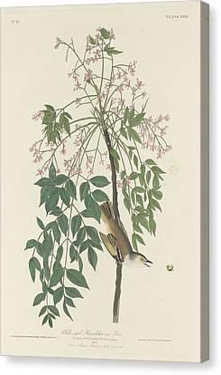White-eyed Flycatcher Canvas Print by John James Audubon