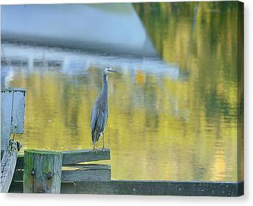 White Faced Heron With Reflections Canvas Print by Barry Culling