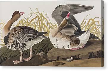 White-fronted Goose Canvas Print by John James Audubon