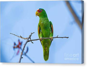 White-fronted Parrot Canvas Print by B.G. Thomson