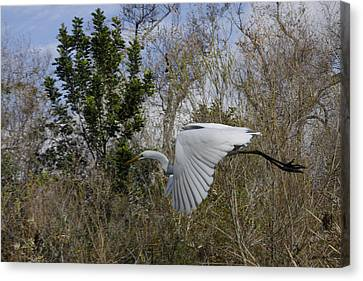 White Heron In Flight Canvas Print by Diana Haronis