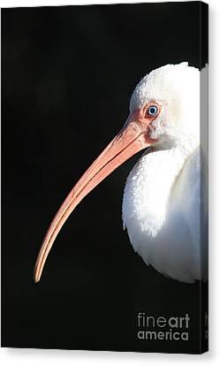 White Ibis Profile Canvas Print by Carol Groenen