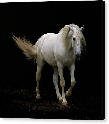 White Lusitano Horse Walking Canvas Print by Christiana Stawski