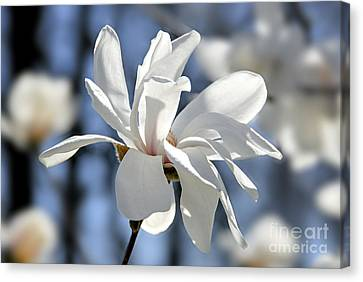 White Magnolia  Canvas Print by Elena Elisseeva