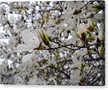 White Magnolia Canvas Print by Michelle Calkins