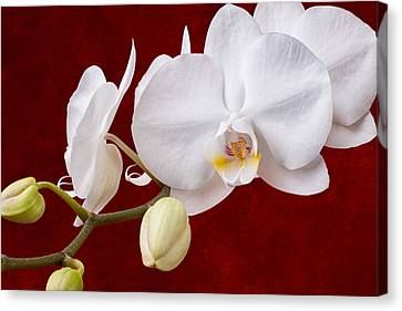White Orchid Closeup Canvas Print by Tom Mc Nemar